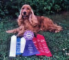 English Cocker Spaniels:Proud William with his Rally Ribbons